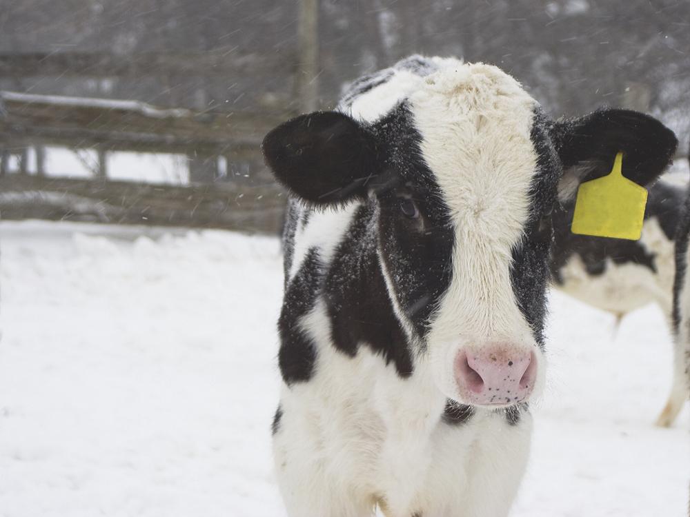 Выращивание телят в зимних условиях