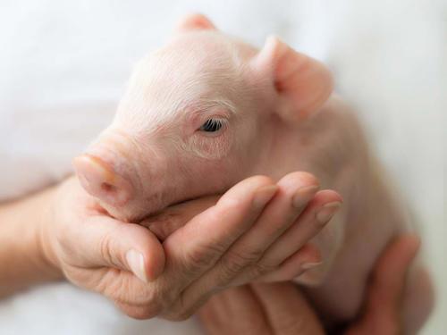 Инновационные продукты для свиней